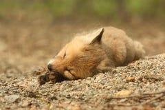 Corredo di Fox rosso Fotografia Stock