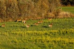 Corredor Branco-atado de muitos cervos Imagem de Stock Royalty Free