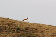 Corredor da corça dos cervos das ovas Imagem de Stock