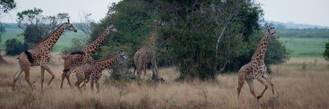 Corredor da família do girafa imagens de stock