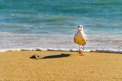 Corredor da gaivota longe da ressaca entrante no por do sol foto de stock royalty free
