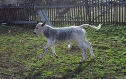 Corredor da vaca do bebê Fotografia de Stock Royalty Free