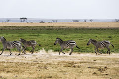 Corredor da zebra Imagens de Stock Royalty Free