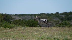 Corredor da zebra Foto de Stock