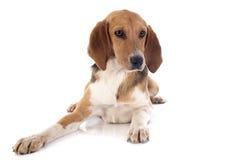Corredor de cross del beagle Fotos de archivo