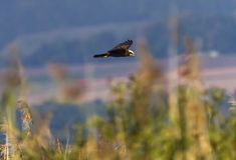 Corredor de cross de pantano eurasiático u occidental, aeruginosus del circo, volando sobre las cañas, lago neuchatel, Suiza foto de archivo