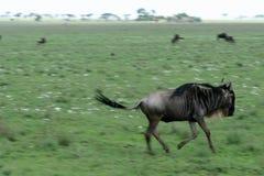 Corredor de Wilderbeast - safari, Tanzânia, África Foto de Stock Royalty Free