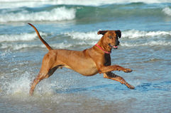 Corredor do cão Fotos de Stock Royalty Free