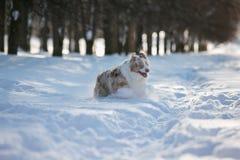 Corredor do cão através da neve profunda no parque para uma caminhada imagem de stock royalty free