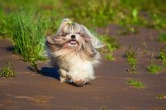 Corredor do cão do tzu de Shih imagens de stock royalty free