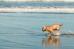 Corredor do cão na praia de Bethells, Te Henga, perto de Auckland, ilha norte, Nova Zelândia fotos de stock