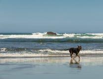 Corredor do cão na praia de Bethells, Te Henga, perto de Auckland, ilha norte, Nova Zelândia imagem de stock