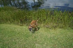 Corredor do cão do pugilista foto de stock royalty free