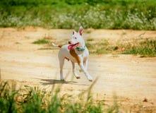 Corredor do cachorrinho do pitbull Fotos de Stock Royalty Free