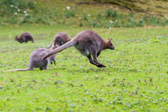 Corredor do canguru Foto de Stock Royalty Free