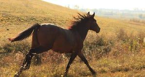 Corredor do cavalo Foto de Stock Royalty Free
