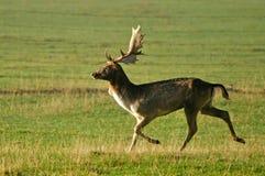 Corredor dos cervos de Fallow Fotos de Stock