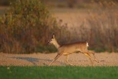 Corredor dos cervos de ovas Imagens de Stock Royalty Free