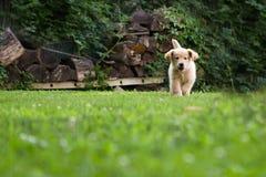 Corredor dourado do filhote de cachorro Fotografia de Stock Royalty Free