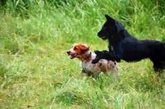 Corredor e caça do spaniel Foto de Stock Royalty Free