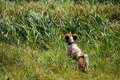 Corredor e caça do spaniel Imagem de Stock Royalty Free