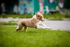 Corredor pequeno do filhote de cachorro Imagem de Stock Royalty Free