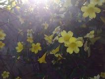 Correhuela amarilla en el sol brillante del mediodía fotografía de archivo