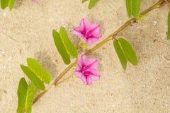 correhuela de la playa Imagen de archivo libre de regalías
