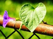 Correhuela púrpura que se alza hasta el sol imágenes de archivo libres de regalías