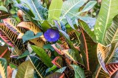 Correhuela (purpurea del Ipomoea) Imágenes de archivo libres de regalías