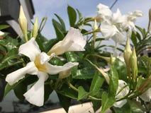 Correhuela que florece en un día soleado Imagenes de archivo