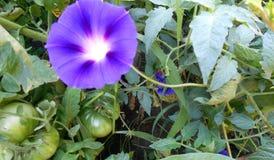 Correhuela rodeada por los tomates verdes Imagen de archivo libre de regalías