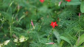 Correhuela roja Imagenes de archivo