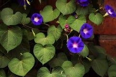 Correhuelas púrpuras y rosadas que crecen profusamente Foto de archivo