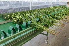 Correia transportadora na estufa holandesa para transportar lilys escolhidos frescos Fotografia de Stock Royalty Free