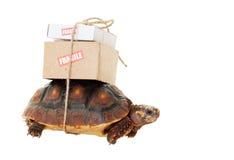 Correio lento da tartaruga Fotografia de Stock Royalty Free