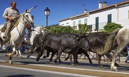 Correndo dei tori incorniciati con i gardians sopra Immagini Stock