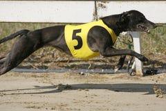 Correndo o galgo dinâmico no curso de raça fotos de stock royalty free