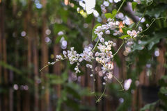 Corrente da flor do amor, videira coral mexicana branca, videira confederada; , Videira coral, trepadeira mexicana Imagem de Stock