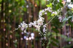 Corrente da flor do amor, videira coral mexicana branca, videira confederada; , Videira coral, trepadeira mexicana Foto de Stock Royalty Free