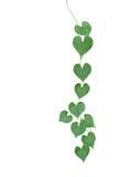 Corrente da suspensão selvagem coração-dada forma da videira da folha verde isolada em w imagens de stock