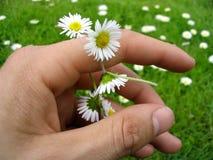 Corrente de flor das margaridas Fotos de Stock Royalty Free