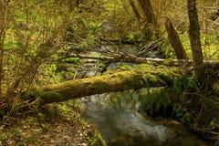 Corrente dell'acqua dolce e della foresta di nord-ovest pacifica Immagini Stock Libere da Diritti