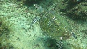 Corrente della tartaruga di mare di Hawksbill sull'isola Bali della barriera corallina video d archivio