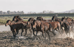 Correre dei cavalli Fotografia Stock