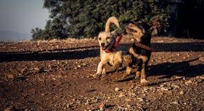Correre dei cuccioli Fotografie Stock Libere da Diritti