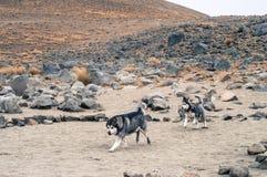 Correre dei husky siberiani fotografie stock libere da diritti