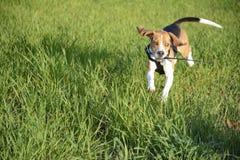 Correre di Freddo furioso sull'erba Fotografia Stock Libera da Diritti