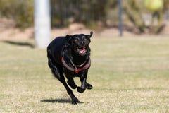 Correre sorridente del cane nero alla macchina fotografica Fotografia Stock Libera da Diritti