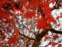 Correspondences. Red maple leaves in autums & x28;Feltre, Veneto, Italy& x29 Stock Images